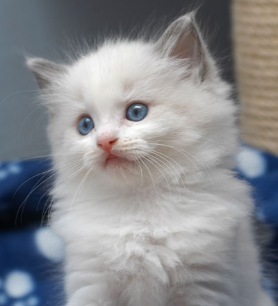 litet blåsljud på hjärtat katt